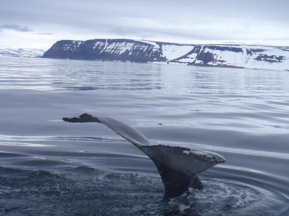 A whale flicking it's trail from the sea in Bolungarvík